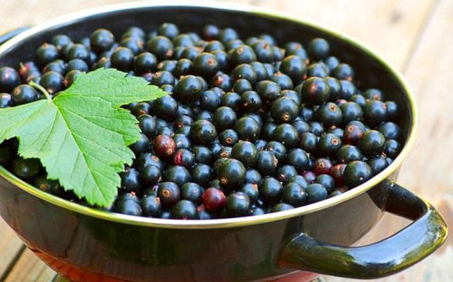 Выбор ягод черной смородины для желе