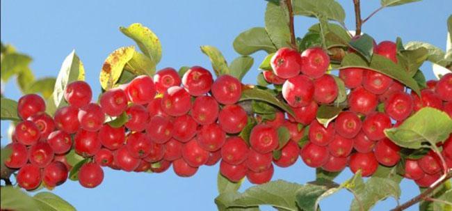 Ингредиенты для варенья из райских яблок