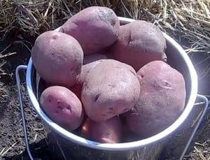 Для приготовления картофельного пюре подходят самые разные сорта картошки.